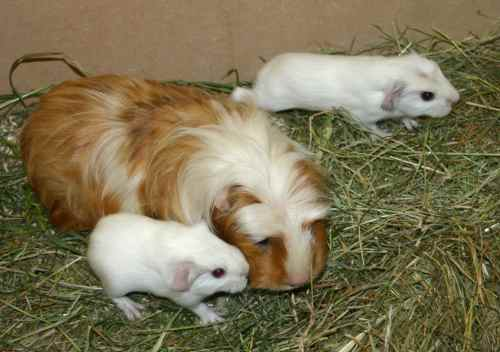 Ab wann können meerschweinchen schwanger werden