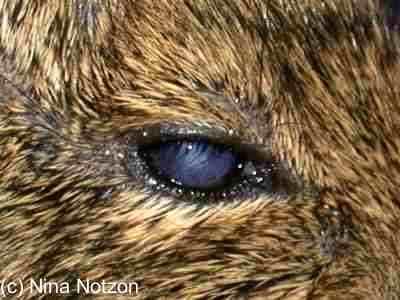meerschweinchen mit roten ring um auge