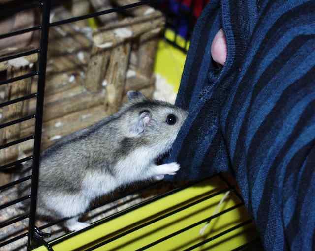 hamster steckbrief winter