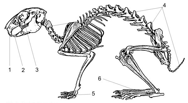 Kaninchen / Zwergkaninchen Info - Anatomie