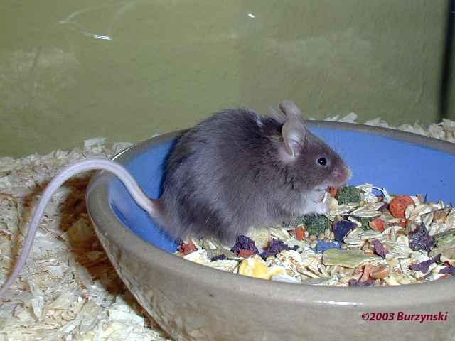 Was Essen Mäuse Gerne farbmaus info - ernährung