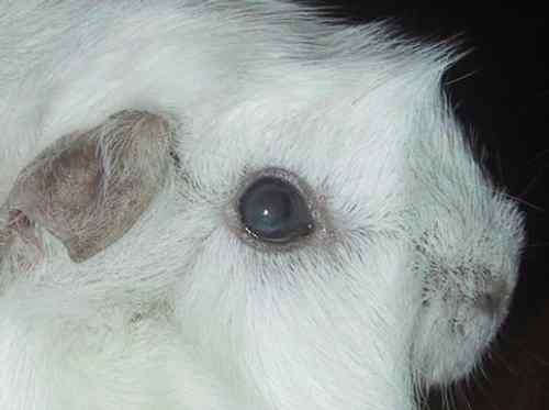 weiser fleck im auge kaninchen verkalkt