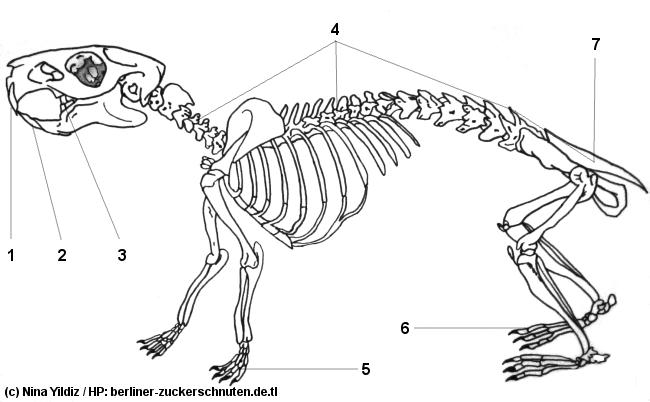 Meerschweinchen INFO - Anatomie