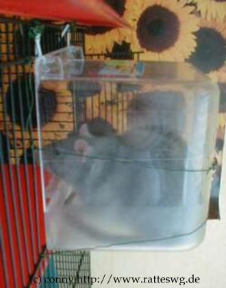 ich bekomme zwei neue ratten ratten. Black Bedroom Furniture Sets. Home Design Ideas