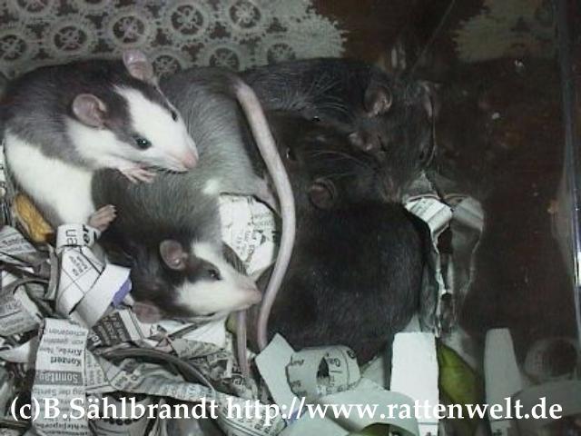 Ratten Info Keine Einzelhaltung