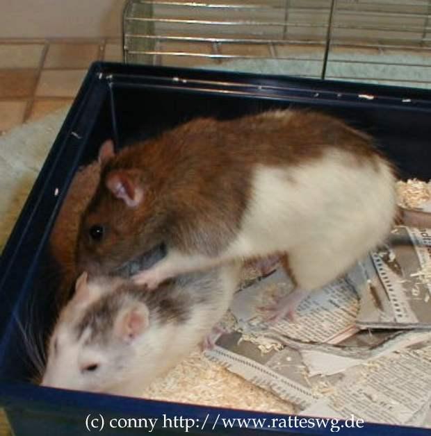 Ratten Info Verhalten